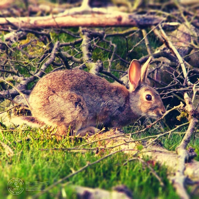 Rabbit on Alderley Edge by Mark Wallis