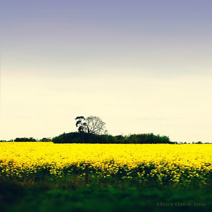 Mustard Fields by Mark Wallis