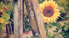 Sunflower by Mark Wallis