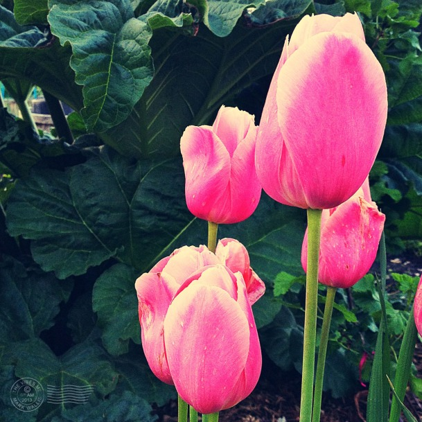 Tulips by Mark Wallis